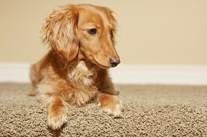 Helpful Green Carpet Cleaning Tips To Remove Pet Stains